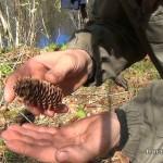 Выживание в лесу: каша из семян ели