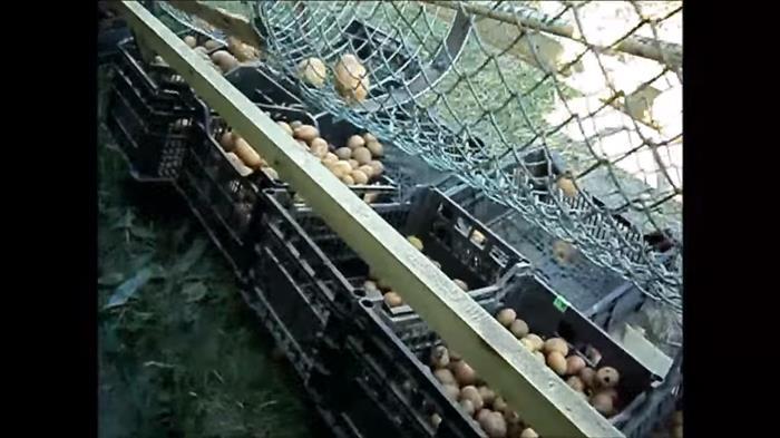 сортировщик картофеля